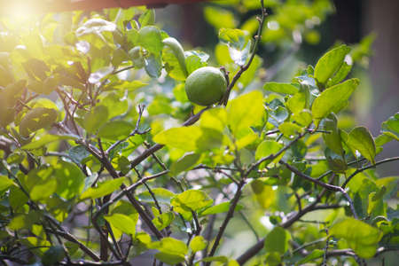 Soft focus fresh green limes hanging on tree with green leaves and sunlight Full of drops of water after rain.