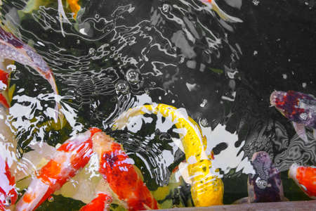 Colorful Fancy carp fish or koi fish in the pond. Color and monochrome concept. Stock Photo