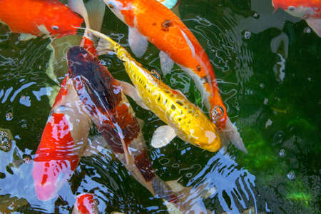 Colorful Fancy carp fish or koi fish in the pond