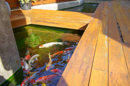 Colorful Fancy carp fish or koi fish in the pond The side of the wooden walkway by the pool.