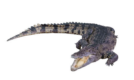 Clipping path The big Freshwater crocodile, Crocodylidae, Crocodylus siamensis is sleeping open mouth isolated on white background.