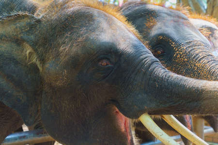The big Thai elephant maximus indicus Cuvier is opening his mouth for food. Stock Photo