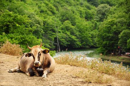 buey: ganado de bueyes por el r�o Foto de archivo