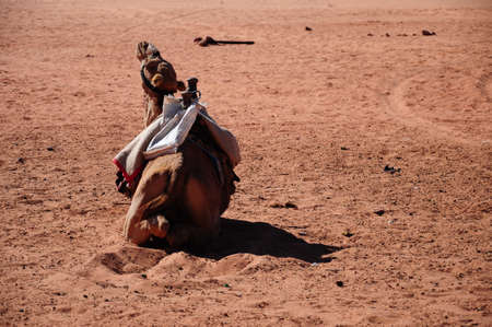 camel on a desert photo