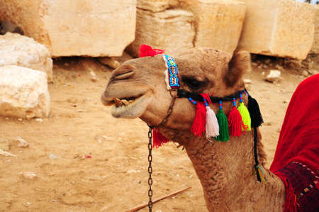 one humped: camel Stock Photo