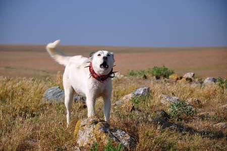 perro furioso: un perro ladrando blanco