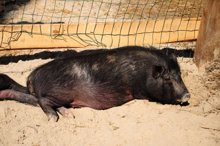 Full view of a black pig sleeping photo