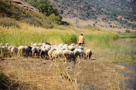 ewe: sheep by lake