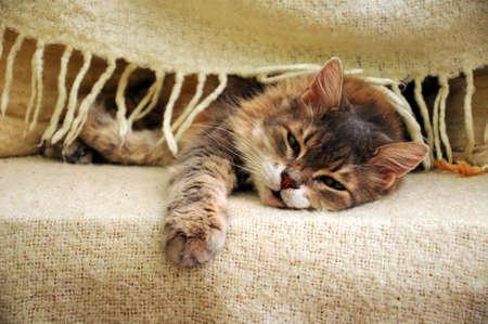 perezoso: gato durmiendo bajo una manta Foto de archivo