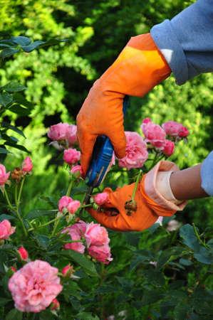 bush trimming: gardening