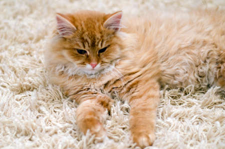 cute cat  kitten laying on carpet photo
