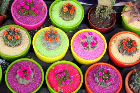 flowered cactus in colorful and fancy pots photo