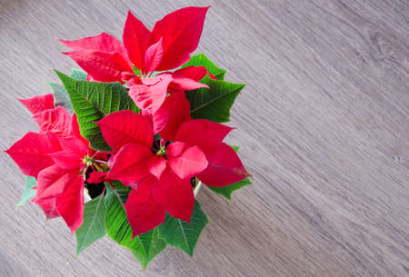 Red christmas flower poinsettia stock photo picture and royalty red christmas flower poinsettia stock photo 19134202 mightylinksfo