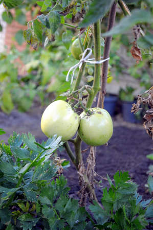 green tomatoes growing on the branches photo