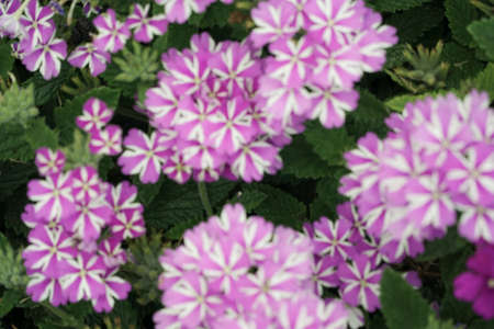 blurred background with purple and white coloured flowers Stock Photo