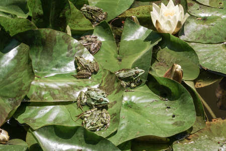 frogs on leaves of water lily on lake