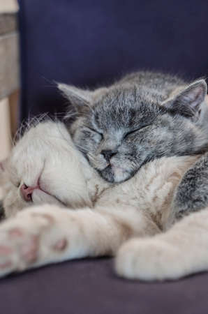 family sofa: two cute cats  kittens sleeping together