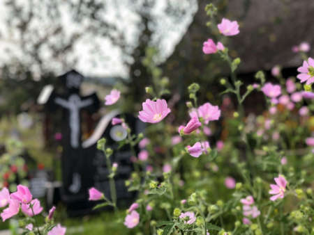 pink flowers in a christian cemetery in romania