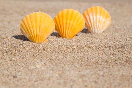 Closeup of a seashells on a sandy beach in summer