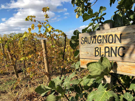 sauvignon blanc sign in a vineyard in autumn
