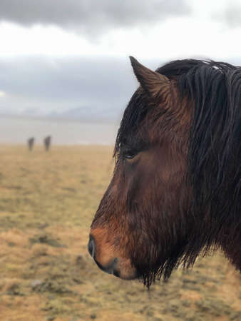 closeup head of an Icelandic horse on a meadow in Iceland Standard-Bild