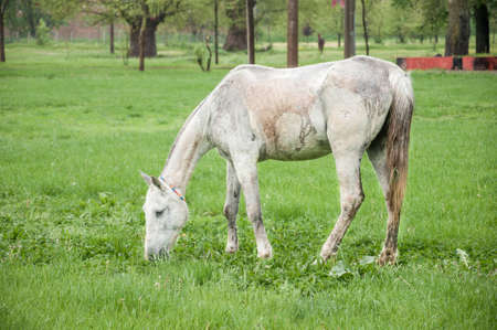 a scrawny white horse feeding on meadow Stockfoto