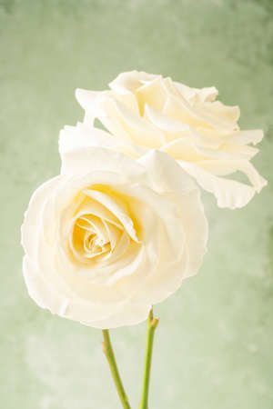 Two white roses over soft green background with copy space 版權商用圖片