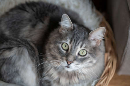 cute tabby gray cat looking at camera while lying on basket at home