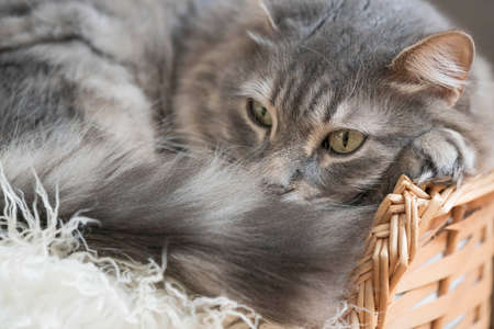 a cute tabby cat lazying on a basket at home