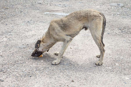 a poor and skinny street dog eating something Foto de archivo