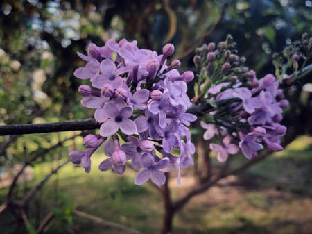 closeup of lilac flower on the tree at garden in spring Stockfoto - 150297482