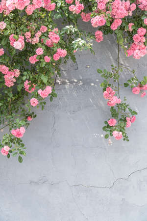 wild pink rose bushes on a stucco wall with copy space