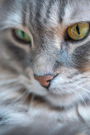 background with closeup face of gray tabby cat