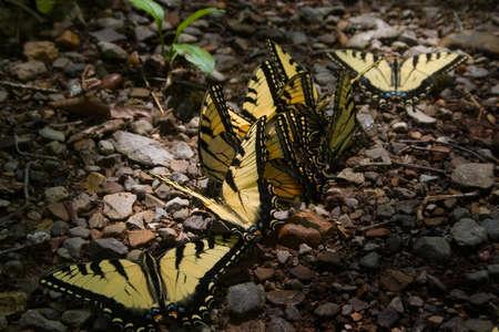 pepples: Yellow Butterflies in a row across pepples Stock Photo