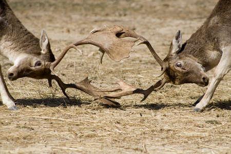 locking: Bucks locking horns in combat
