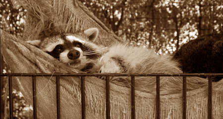 racoon kicking back and taking it easy