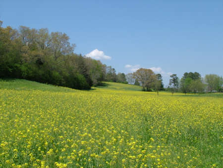 Filed of yellow mustard  near cleveland tennessee
