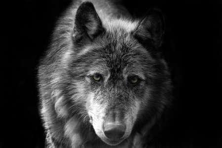shots of wolves close up head shots