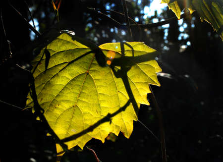 Early morning light strikes a leaf.  Imagens