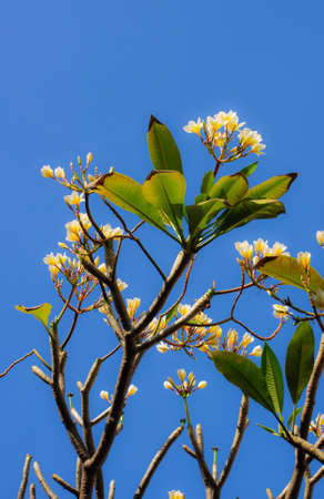 Frangipani flower or Leelawadee flower photo