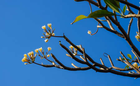 leelawadee: Frangipani flower or Leelawadee flower Stock Photo