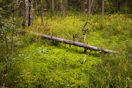 Fallen tree in forest lying on green moss. Natural landscape background Imagens