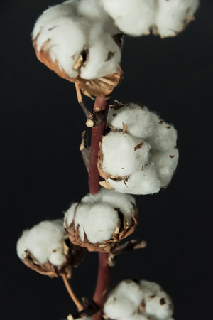 A branch of beautiful soft cotton flowers on a dark background, isolated, closeup. Standard-Bild - 121465362