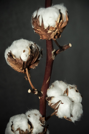 A branch of beautiful soft cotton flowers on a dark background, isolated, closeup. Standard-Bild - 121465364