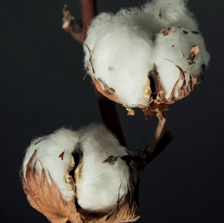 A branch of beautiful soft cotton flowers on a dark background, isolated, closeup. Standard-Bild - 121465368