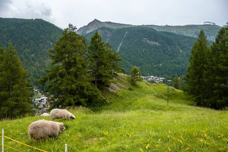 Two black nose sheep grazing near valley Zermatt Stock fotó