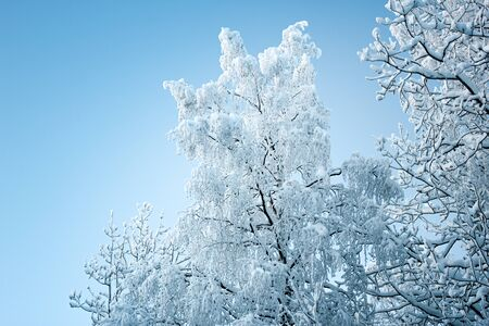 Beautiful winter landscape, forest trees, pines and firs covered with snow against the sky Stock Photo