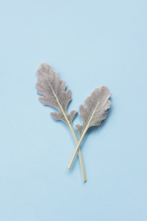 Silver dusty miller leaves on pastel blue background