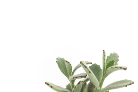 Panda plant succulent on clear white background