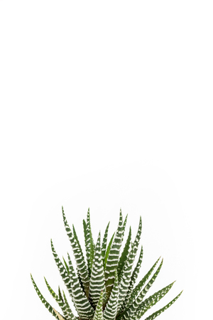 Green zebra succulent on clear white background